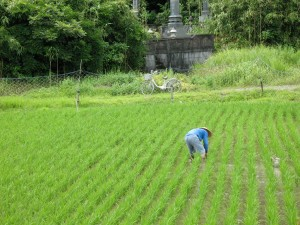 Pulling weeds in the rice paddy
