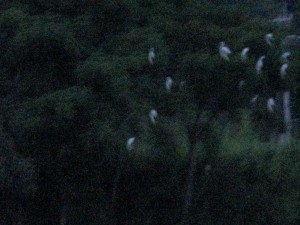 White egrets (白鷺)resting in the trees by the river