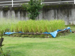This is the small rice planting at the school that I wrote about in early in the summer