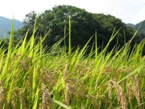 just before the rice harvest