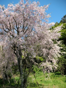 The end of the cherry blossom season in Kokura